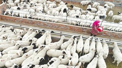 <p>盐池县王乐井乡牛记圈村,农民八成收入出在羊身上。一只只滩羊撬动了扶贫大产业。</p>